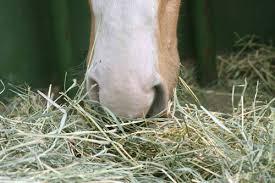 horse chewing fibre hay